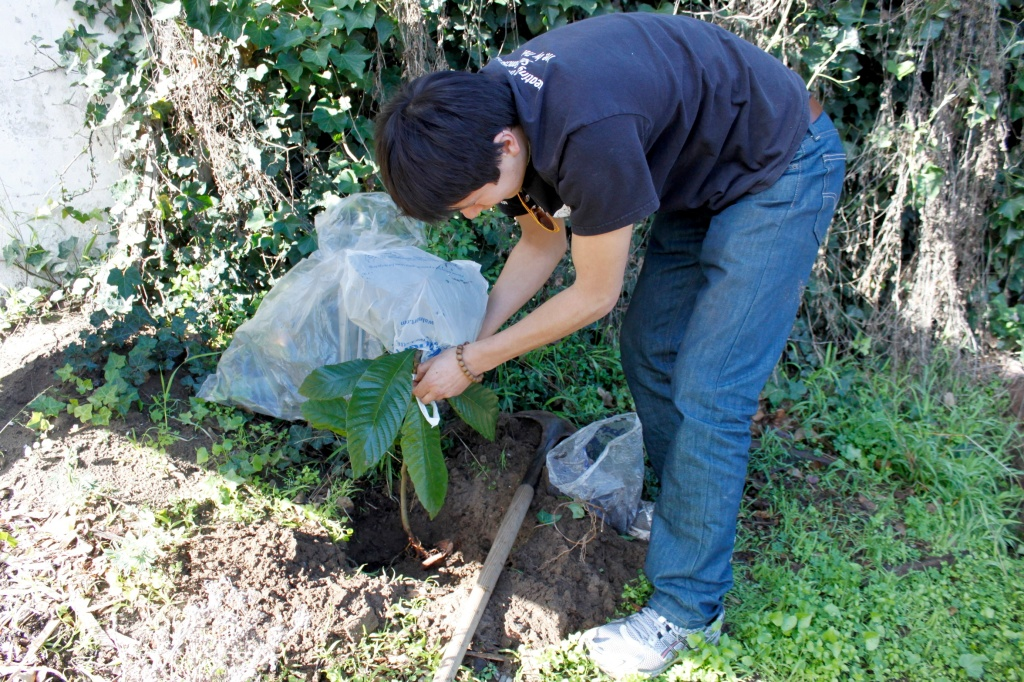 The Garden Gets A New Loquat Tree