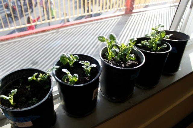 Room 206's Potato Plants Day 28
