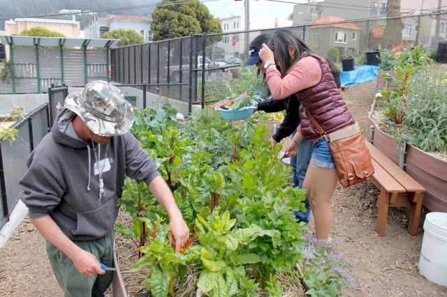 Harvesting Chard for the Tabbouleh Wraps