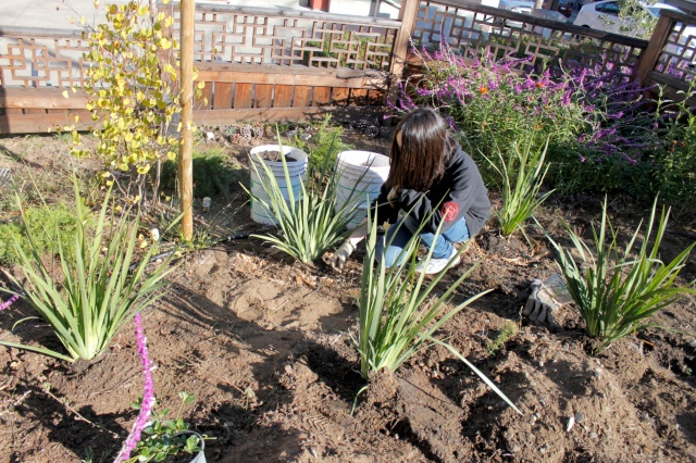 Mulching Around the New Fortnight Lilies