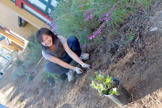 Planting Ceanothus