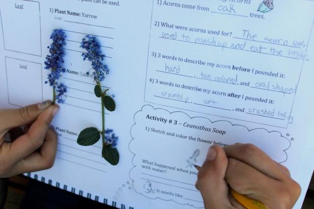 Ceanothus Flower Sketching