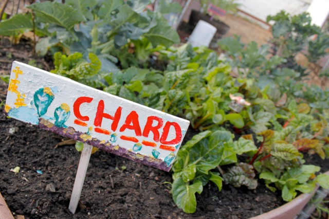 Fall Chard Bed