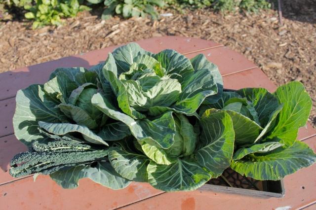 Garden Cabbage 2013