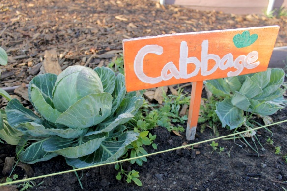 Cabbage Feb 2014