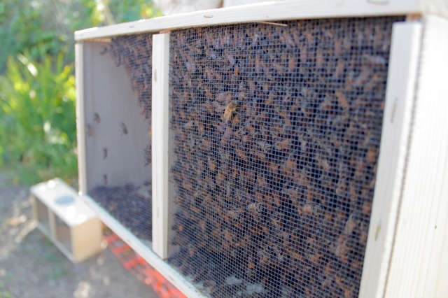 The new colony of honeybees waiting to be released.